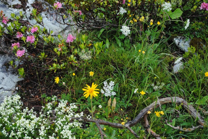 Bergkräuter, Bergblumen erleben